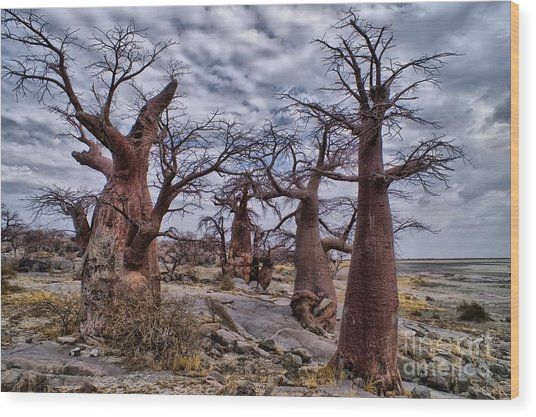 Baobab Trees At Kubu Island Wood Print