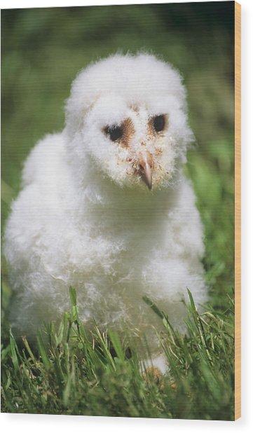 Barn Owl Chick Wood Print by David Aubrey
