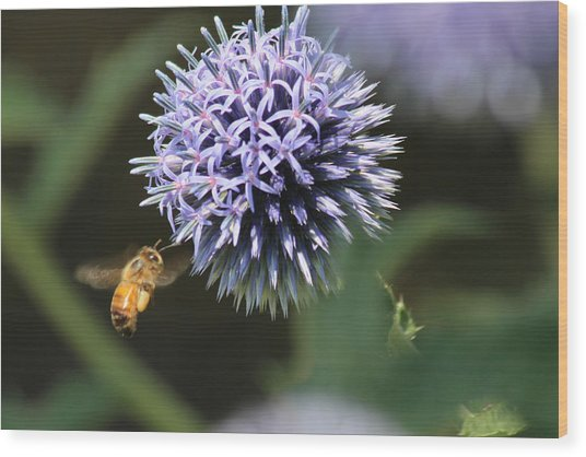 Bee In Flight Wood Print by Janet Mcconnell
