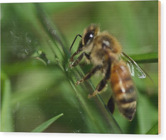 Bee In Green Wood Print