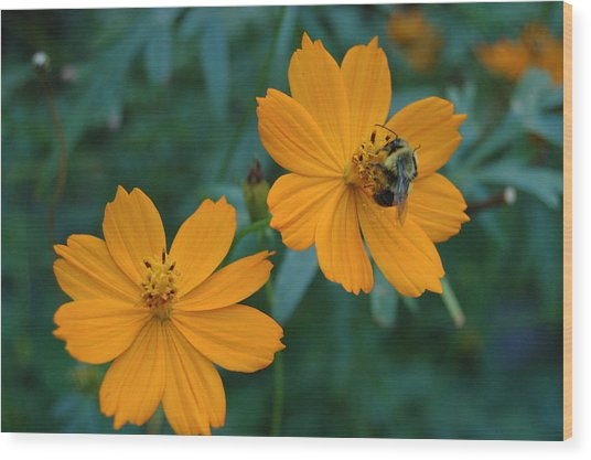 Bee On Cosmos Flower  Wood Print