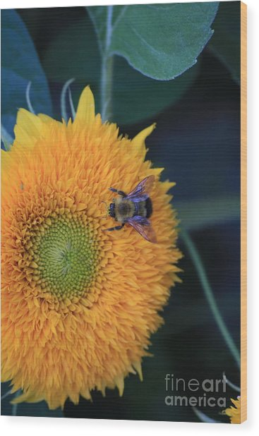 Bee On Teddybear Sunflower 2012 Wood Print by Marjorie Imbeau