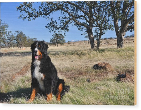 Bernese Mountain Dog In California Chaparral Wood Print