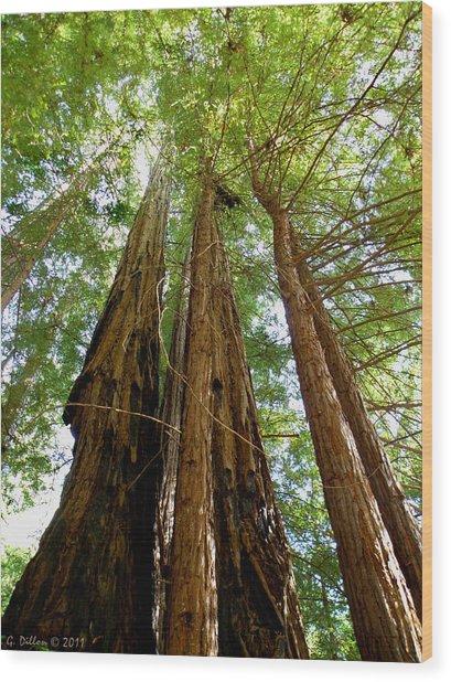 Big Basin Redwoods State Park Wood Print
