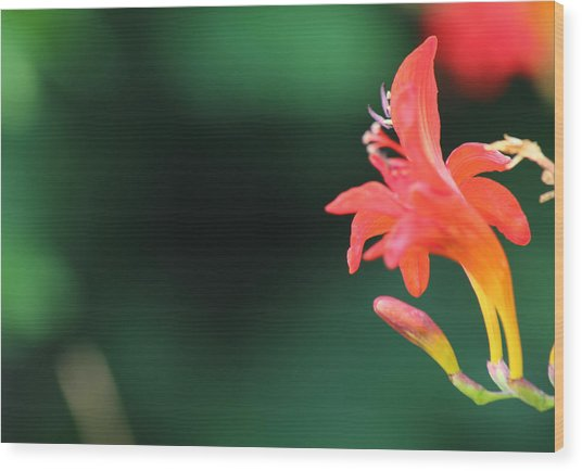 Bird Of Paradise Wood Print by Janet Mcconnell