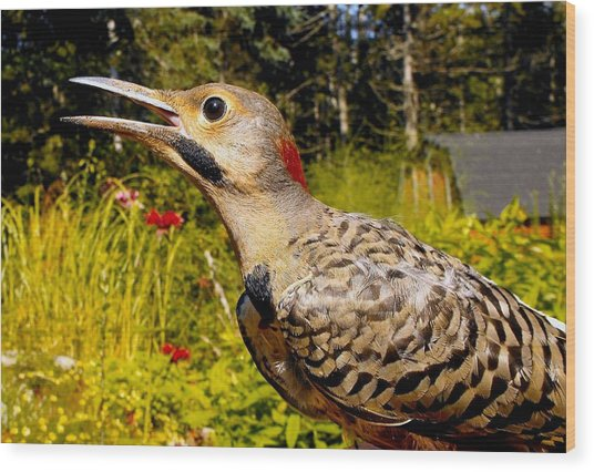 Birds Young Flicker Wood Print