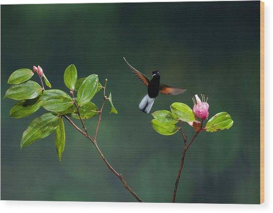 Black Bellied Hummingbird Wood Print