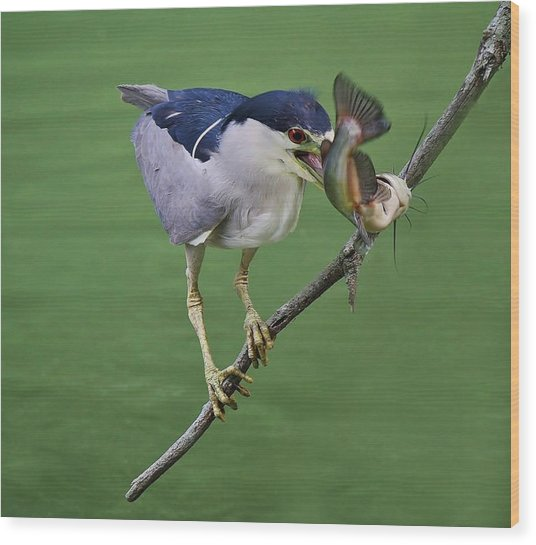 Black Crowned Night Heron With A Catfish Wood Print by Paulette Thomas