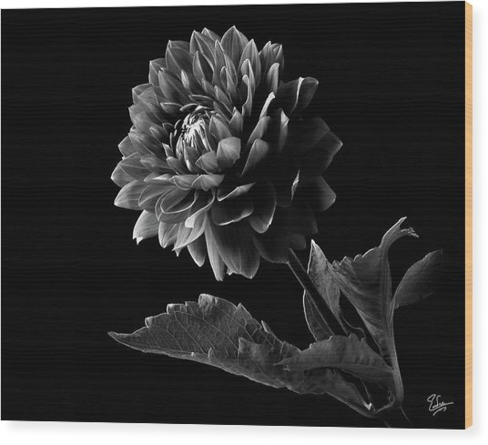 Black Dahlia In Black And White Wood Print