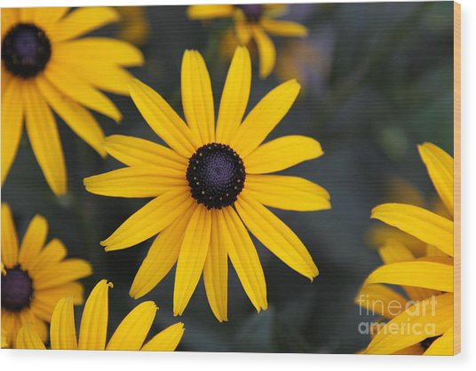 Black-eyed Susan Wood Print by Chris Hill