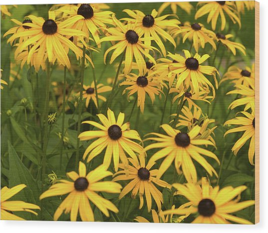Black-eyed Susans Wood Print by Stanley French