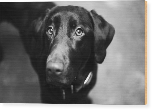 Black Labrador  Wood Print