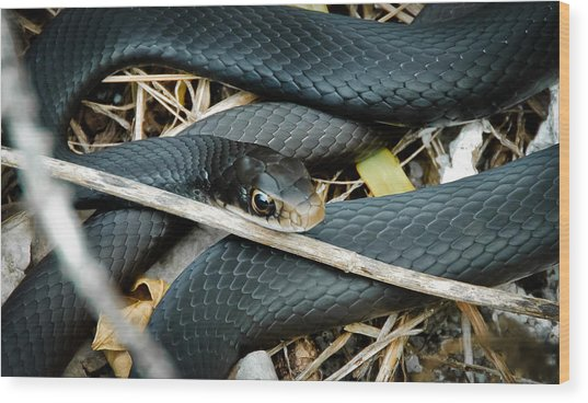 Black Racer Wood Print