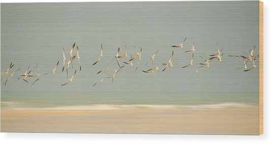 Black Skimmers Wood Print