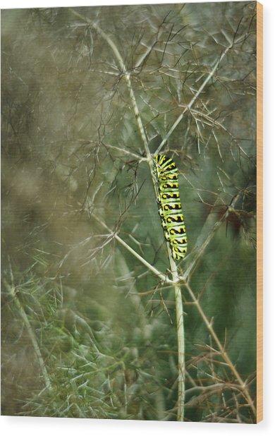 Black Swallowtail Butterfly Larva In Bronze Fennel Wood Print