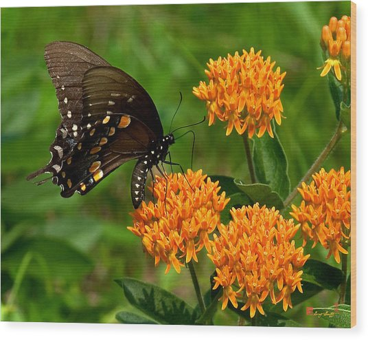 Black Swallowtail Visiting Butterfly Weed Din012 Wood Print