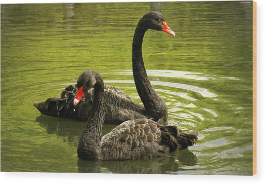 Black Swans Wood Print by Jacqui Collett