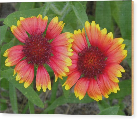 Blanket Flowers Wood Print by Judy Wanamaker