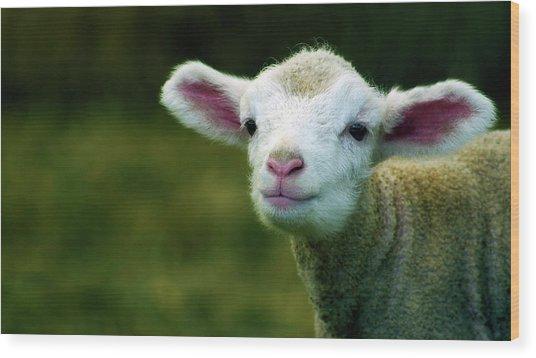 Bleating Lamb Wood Print