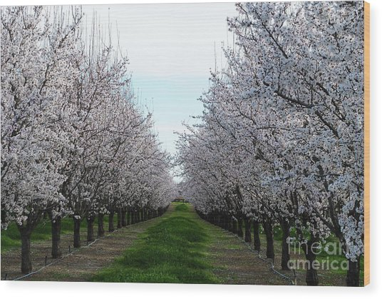 Blooming Orchard Wood Print