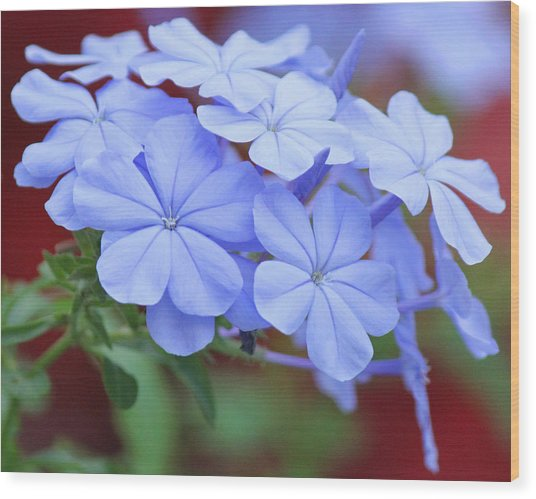 Blue Beauty Wood Print by Becky Lodes