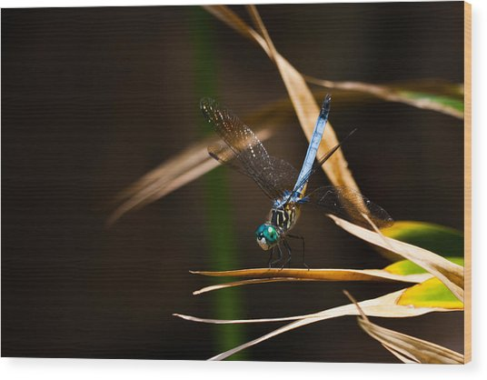 Blue Dasher Dragonfly Wood Print