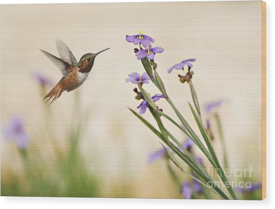 Blue-eyed Grass Wildflowers And Rufous Hummingbird Wood Print