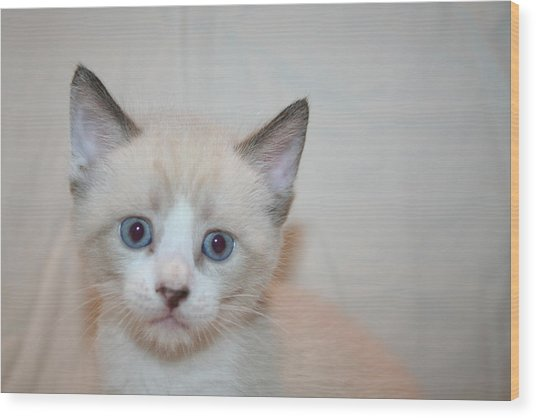 Blue Eyed Kitten Wood Print by Eduardo Bouzas