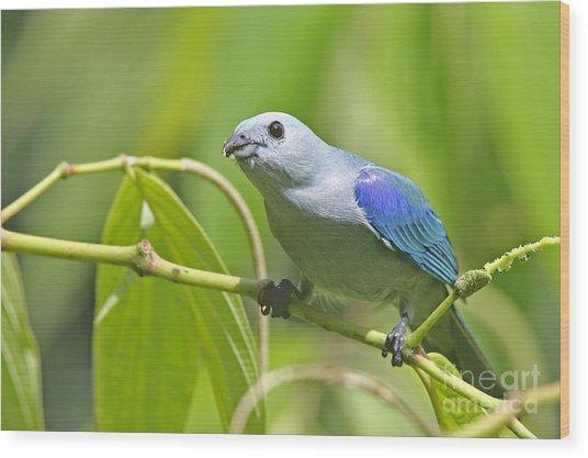 Blue-grey Tanager Wood Print