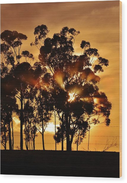 Blue Gum Trees Wood Print