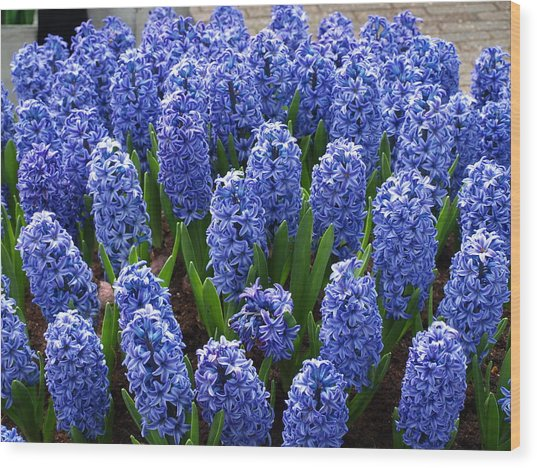 Blue Hyacinth Wood Print by Larry Krussel