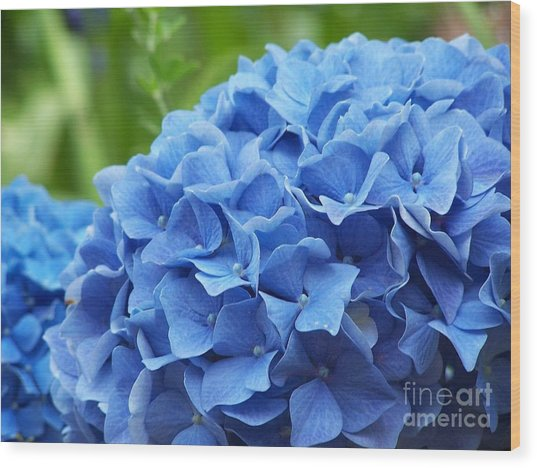 Blue Madeira Hydrangea Wood Print by Patricia Land