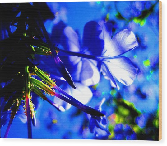 Blue Plumbago Flowers Wood Print by Catherine Natalia  Roche