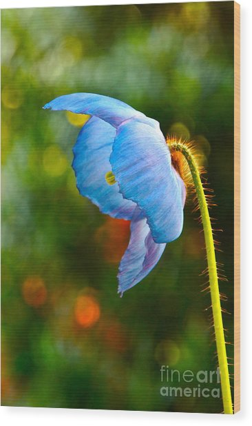 Blue Poppy Dreams Wood Print