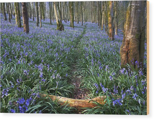 Bluebell Path Wood Print by Kris Dutson