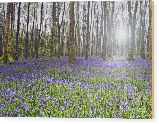 Bluebell Woods Kildare Ireland Wood Print by Catherine MacBride