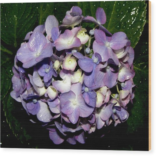 Blueish Purple Hydrangea At Nighfall Wood Print by Kim Galluzzo Wozniak