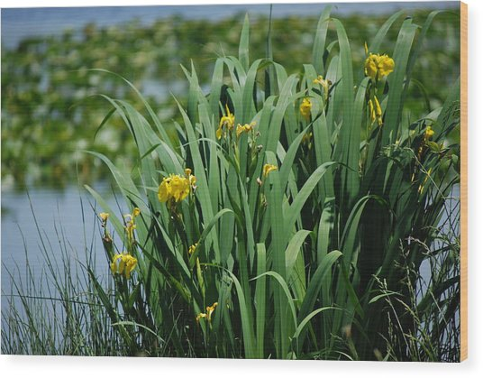 Bokeh Of Yellow Flag Water Iris Wood Print