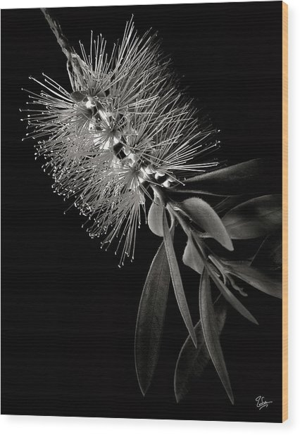 Bottlebrush In Black And White Wood Print