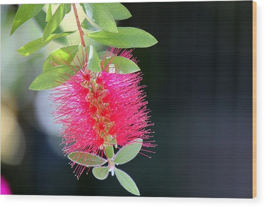 Bottlebrush Nectar Wood Print