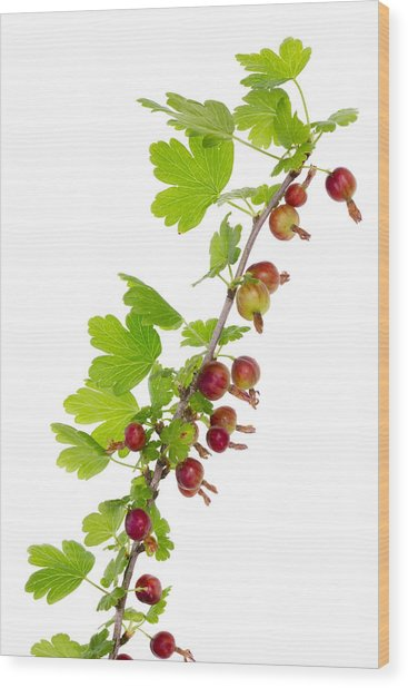 Branch Of Prickly Gooseberry Wood Print by Aleksandr Volkov
