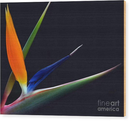 Bright Bird Of Paradise Rectangle Frame Wood Print