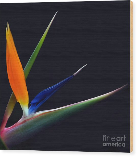 Bright Bird Of Paradise Square Frame Wood Print