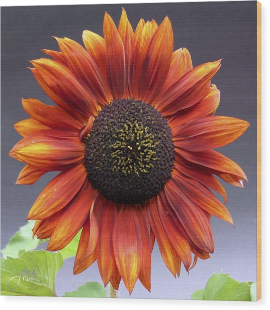 Bright Intense Sunflower Wood Print by Joshua Miller