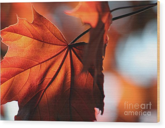 Brilliant Bronze Maple Leaf Wood Print by Chris Hill