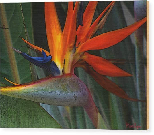 Brilliant Tropical Bird Wood Print by Marilyn Atwell