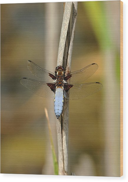 Broad Bodied Chaser Wood Print by Paul Scoullar