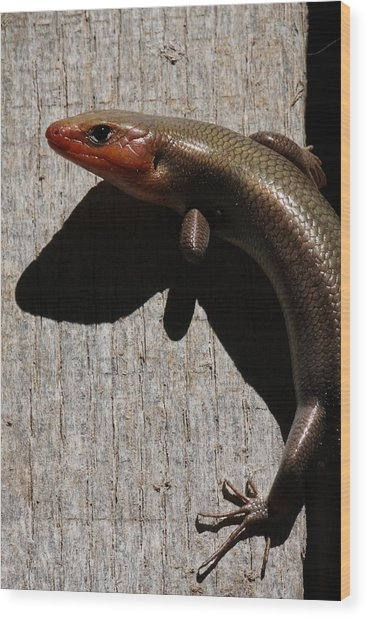 Broad-headed Skink On Barn  Wood Print