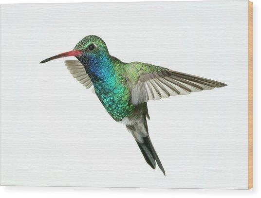 Broadbill Hummingbird  Wood Print