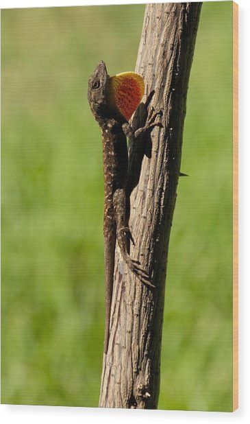 Brown Anole Displaying Wood Print
